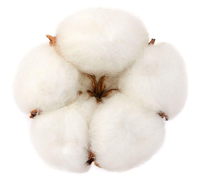 Cotton plant flower - Cosmetic fragrances